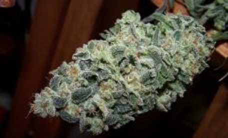 Alaskan Thunder weed strain