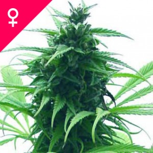 Super Skunk Feminized Seeds